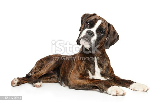 German boxer looks surprised while lying on a white background