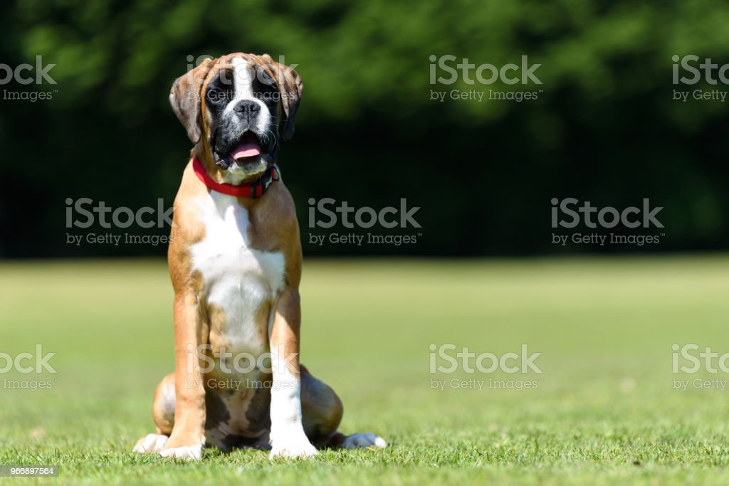 German Boxer Puppy Dog Stock Photo Download Image Now Istock