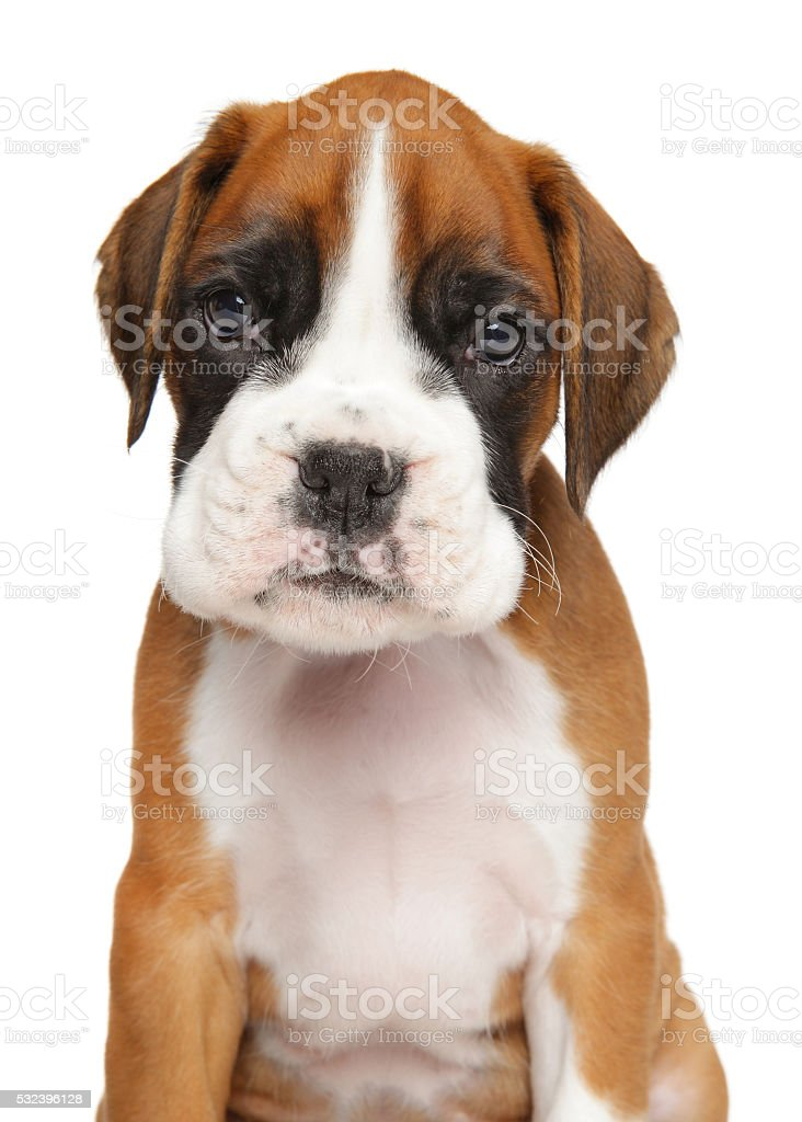 German Boxer Puppy Isolated On White Stock Photo Download Image Now Istock