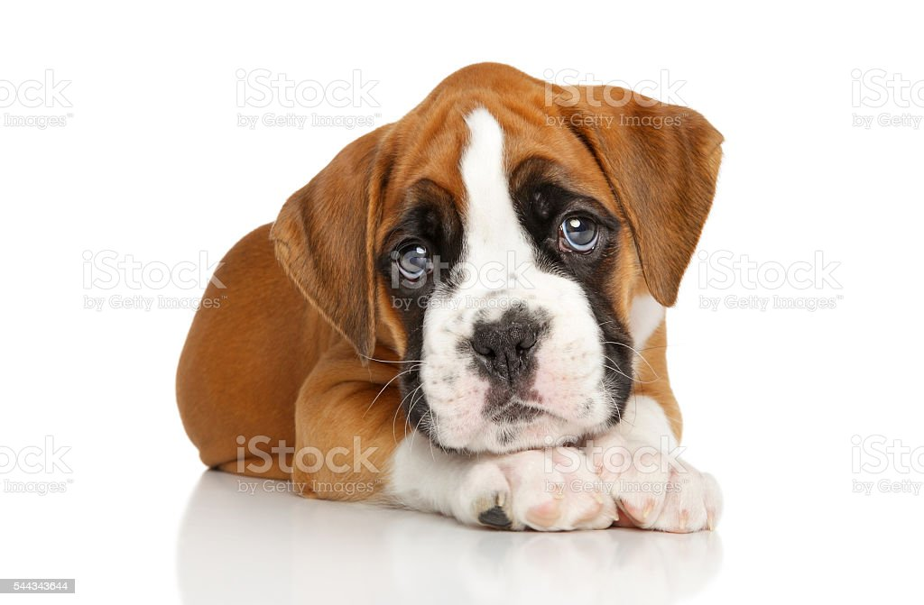 German Boxer puppy on white stock photo