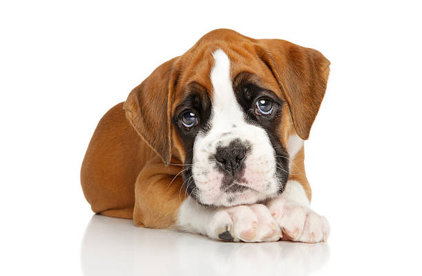 bokserki na biały szczeniak w niemczech - bokser pies zdjęcia i obrazy z banku zdjęć