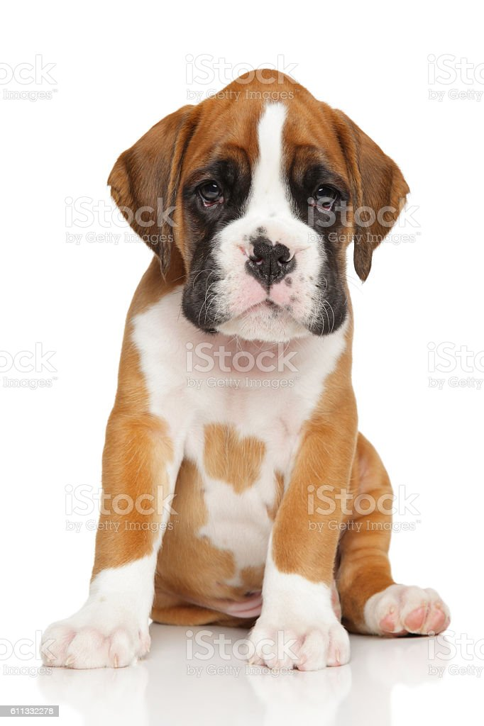 German Boxer Puppy On White Stock Photo Download Image Now Istock