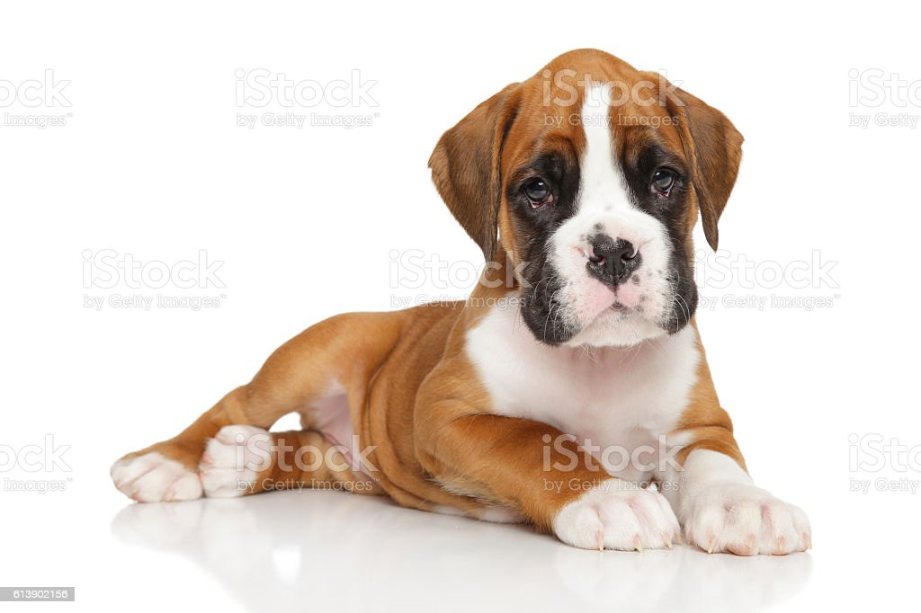 German boxer puppy on white - foto de acervo