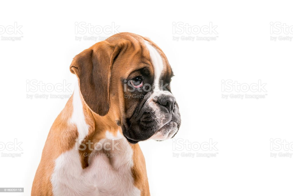 German Boxer Puppy Stock Photo Download Image Now Istock