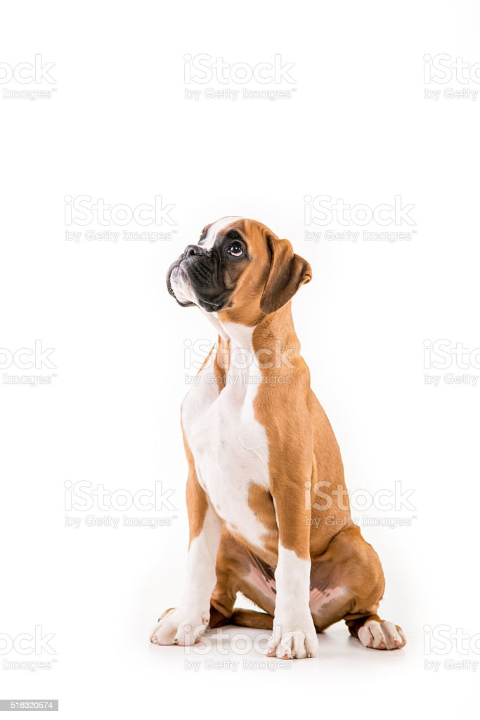 German boxer puppy stock photo