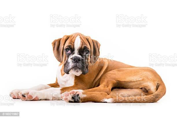 German boxer puppy picture id516321562?b=1&k=6&m=516321562&s=612x612&h=f hl hlzgn3zczsw6dvw00iosxg3asfh4zpubwpwde4=