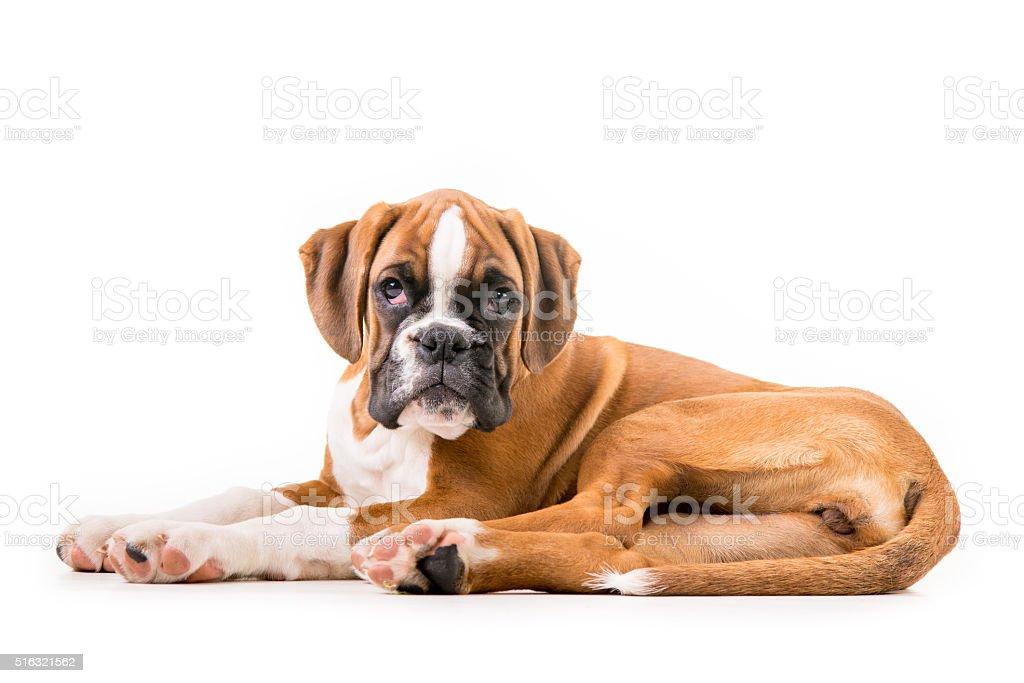 Niemiecki bokserki szczeniaka – zdjęcie