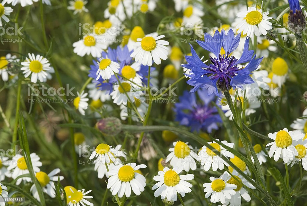 German Chamomile and blue cornflower 01 royalty-free stock photo