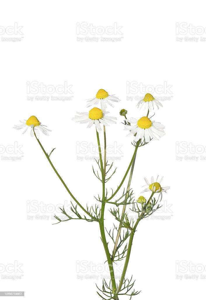 German chamomile (Matricaria chamomilla) flowers stock photo