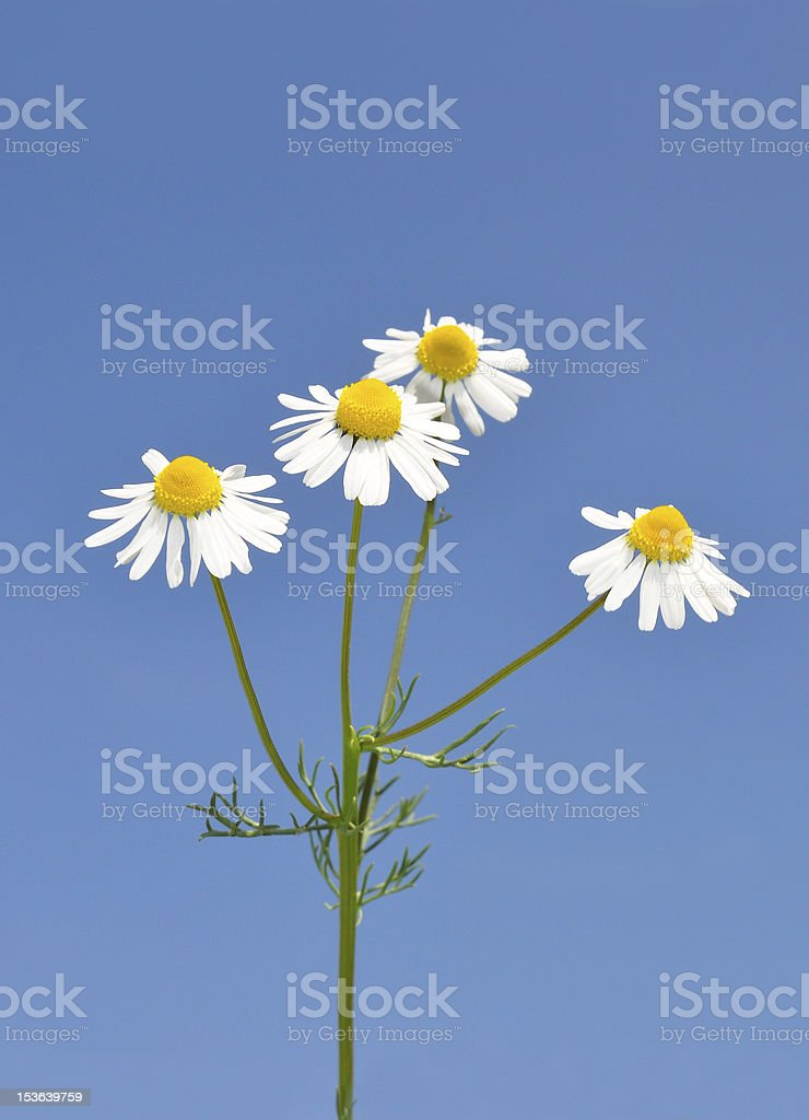 German chamomile (Matricaria chamomilla) royalty-free stock photo