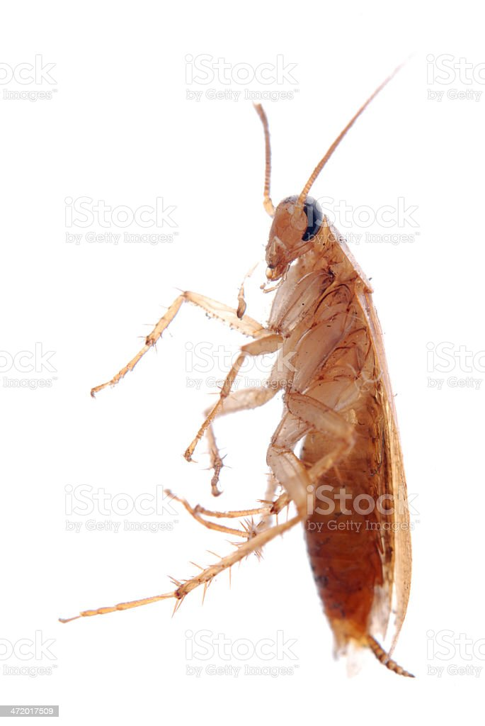 german cockroach isolated royalty-free stock photo