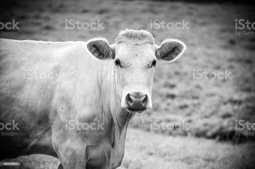 German cow stock photo