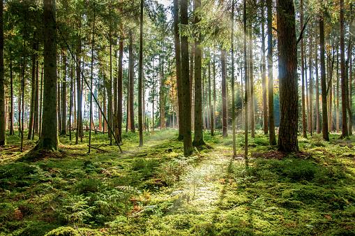 German Forest in Black Forest, with sunny ray of light.  In Villigen -Schwenninger
