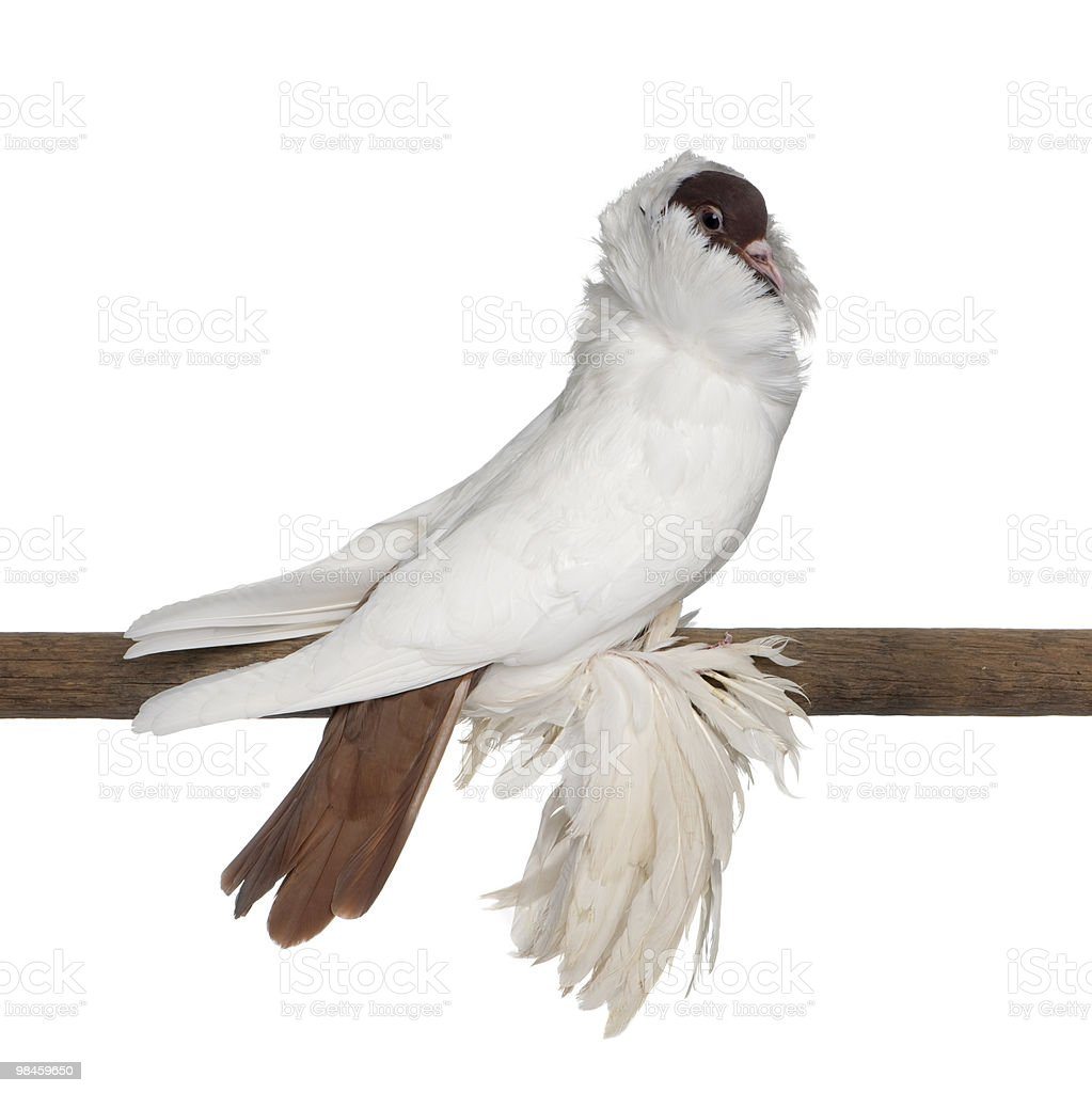 German helmet with feathered feet pigeon perched on stick royalty-free stock photo
