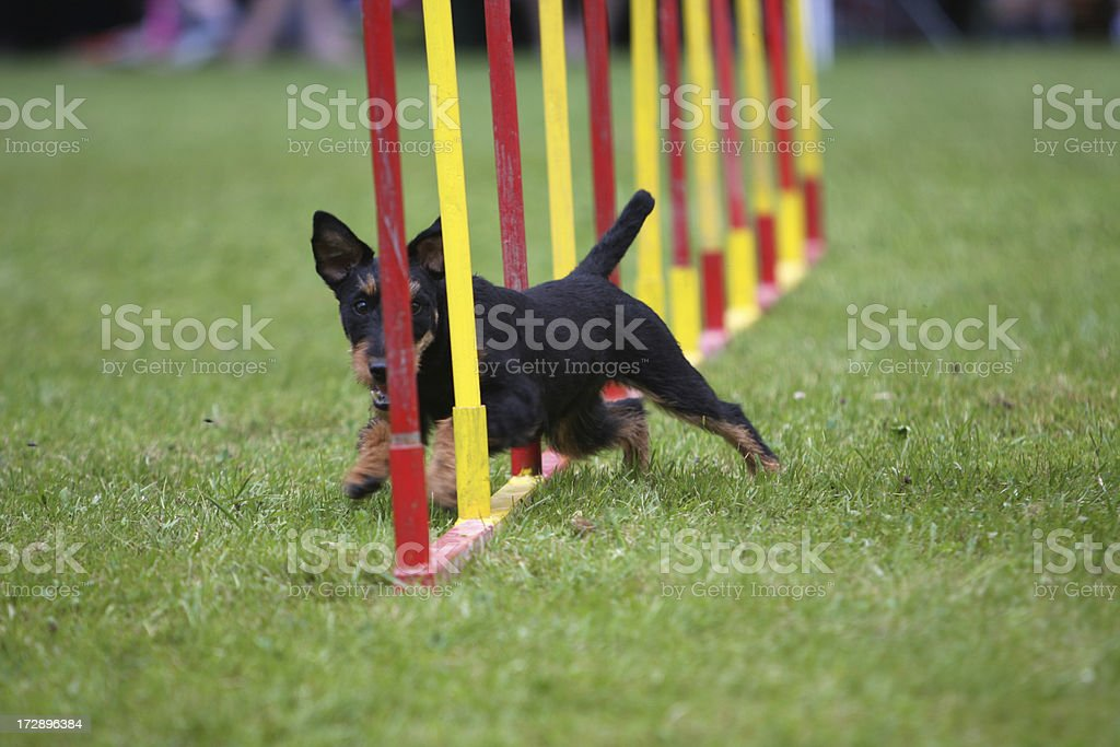 German Hunt Terrier royalty-free stock photo
