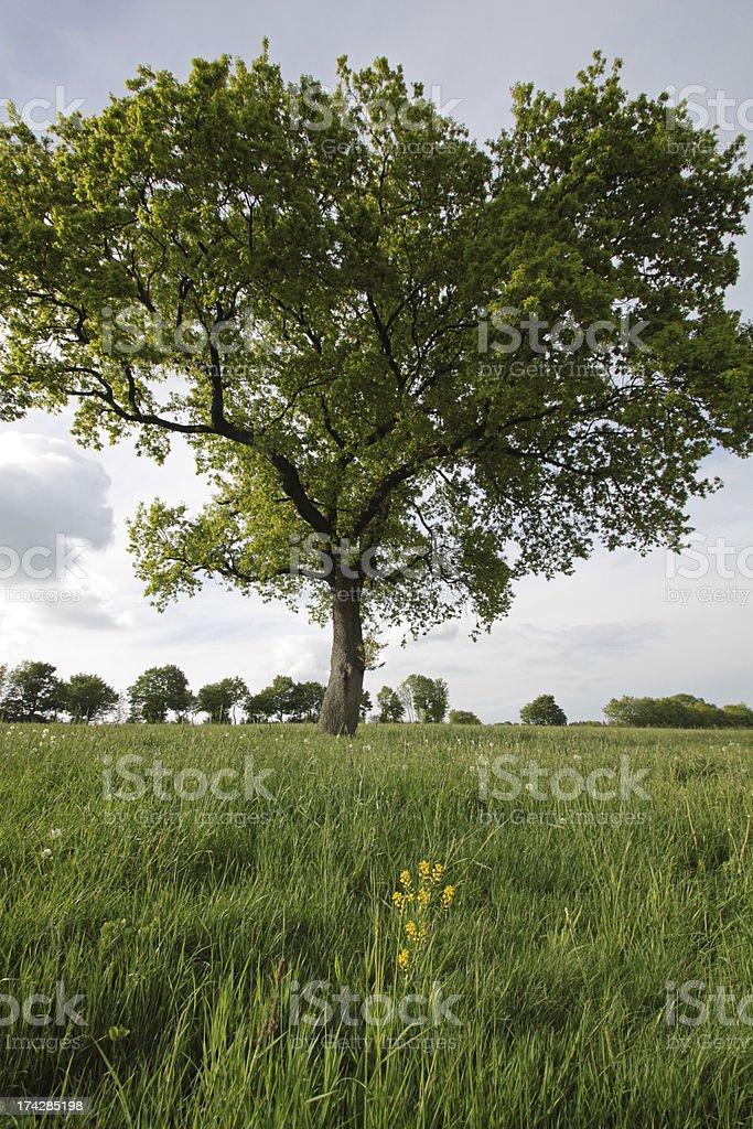 German oak on a meadow stock photo