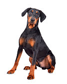 Sitting puppy of tan-and-black German Pinscher or Doberman Pinscher isolated on a white background