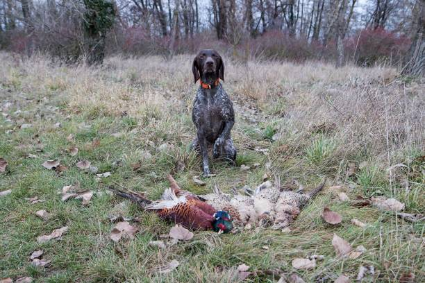 German pointer and shooted pheasants stock photo