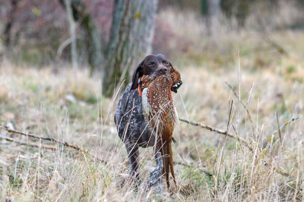 German pointer carries a pheasant stock photo