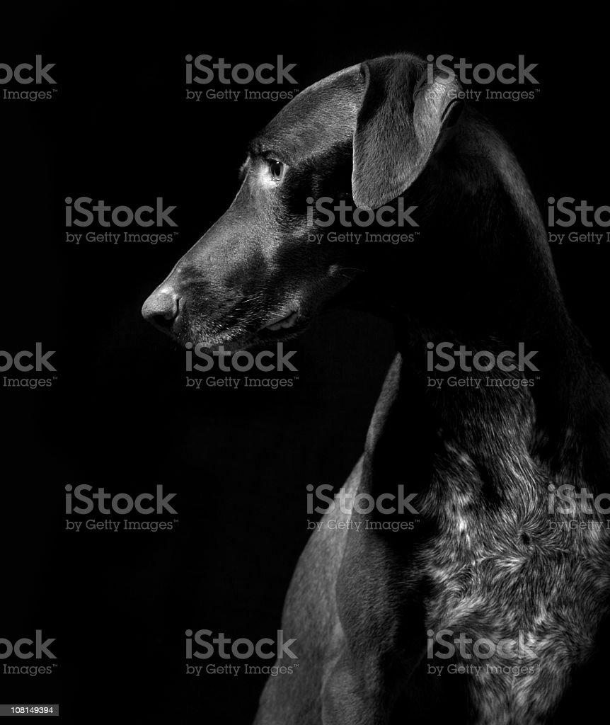 German Pointer Dog, Black and White stock photo