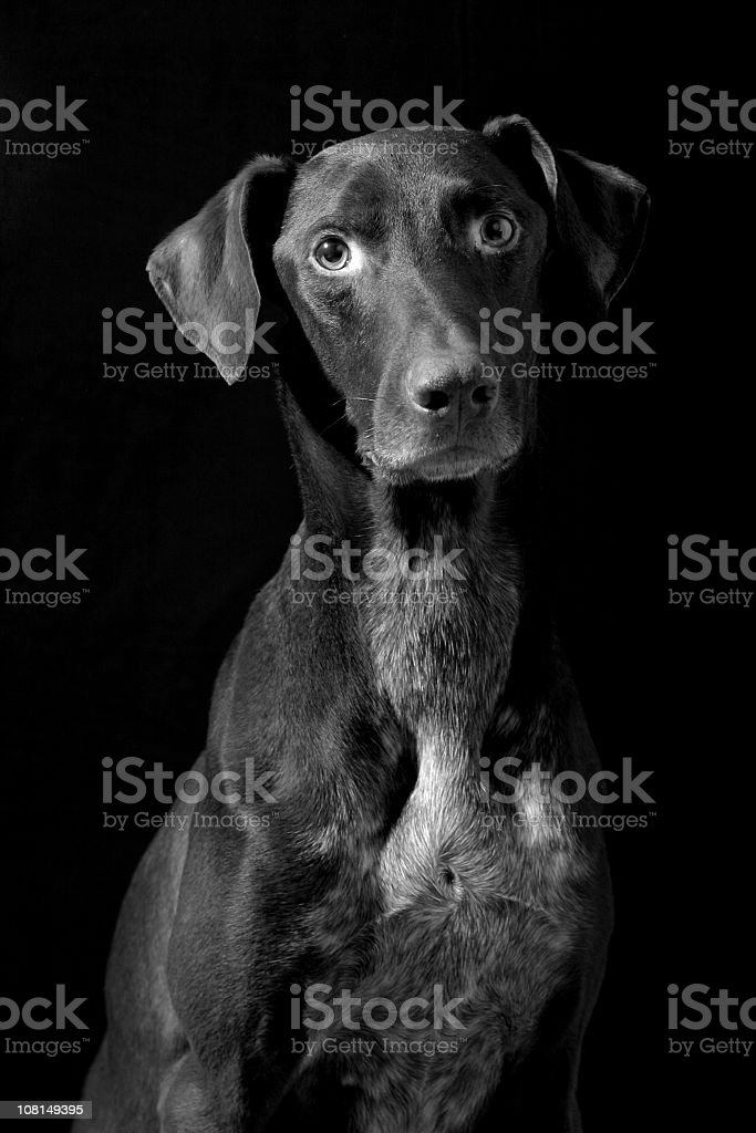 German Pointer Dog, Black and White royalty-free stock photo