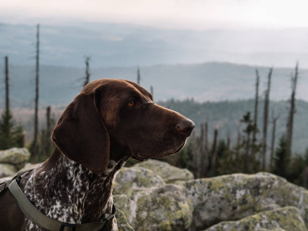 German pointer dog on mountain hike stock photo
