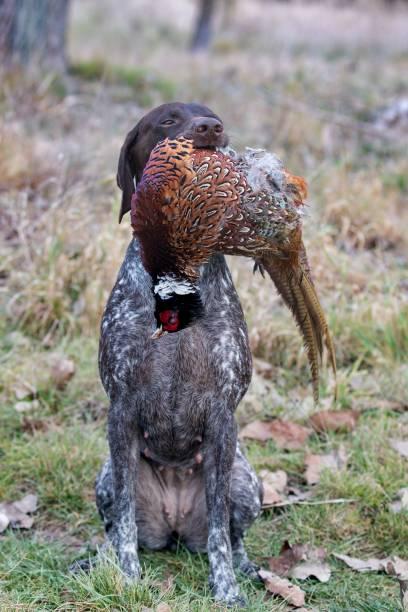 German pointer holding pheasant stock photo