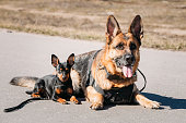 German Sheepdog And Miniature Pinscher Pincher Sitting Together On Road