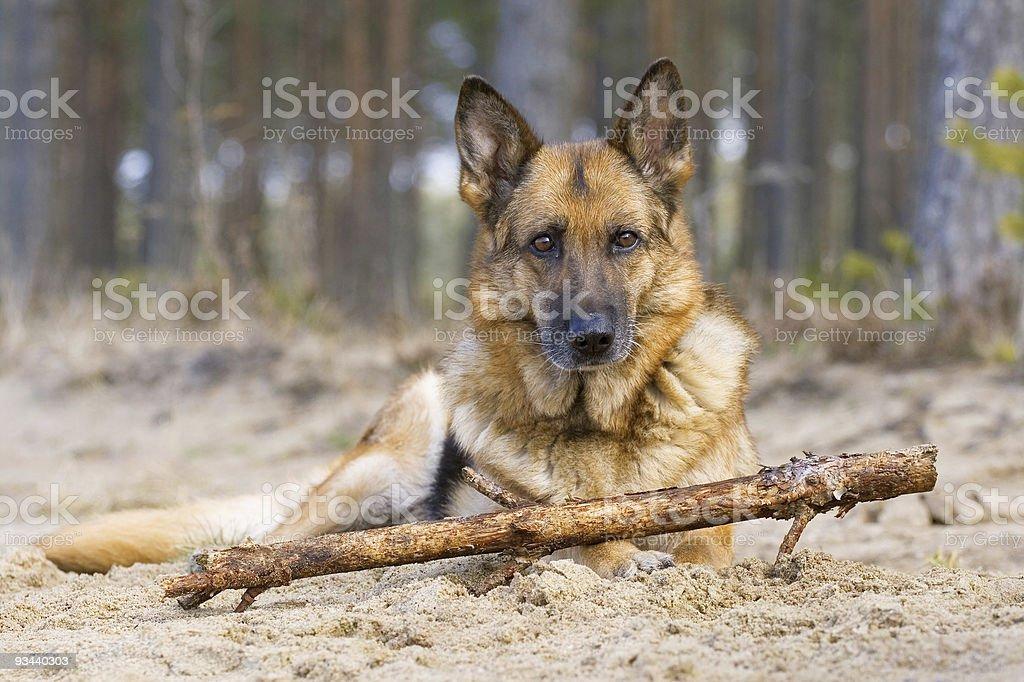 Deutscher Schäferhund Lizenzfreies stock-foto