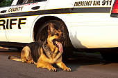 German Shepard canine unit laying in front of a sheriffs car