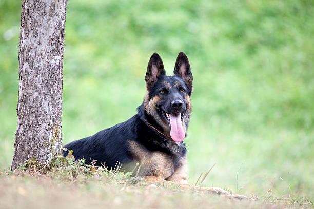 German Shepard dog lay outside under tree stock photo