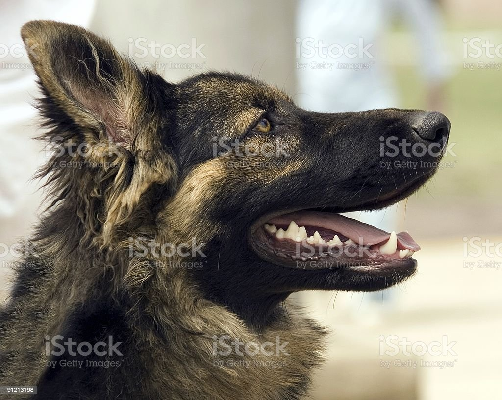 German Shepard stock photo