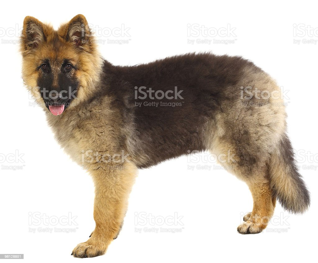 german shepard puppy on white royalty-free stock photo