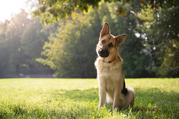 German Shepard sitting in a green park surrounded by trees young german shepherd sitting on grass in park and looking with attention at camera, tilting head diagonal stock pictures, royalty-free photos & images