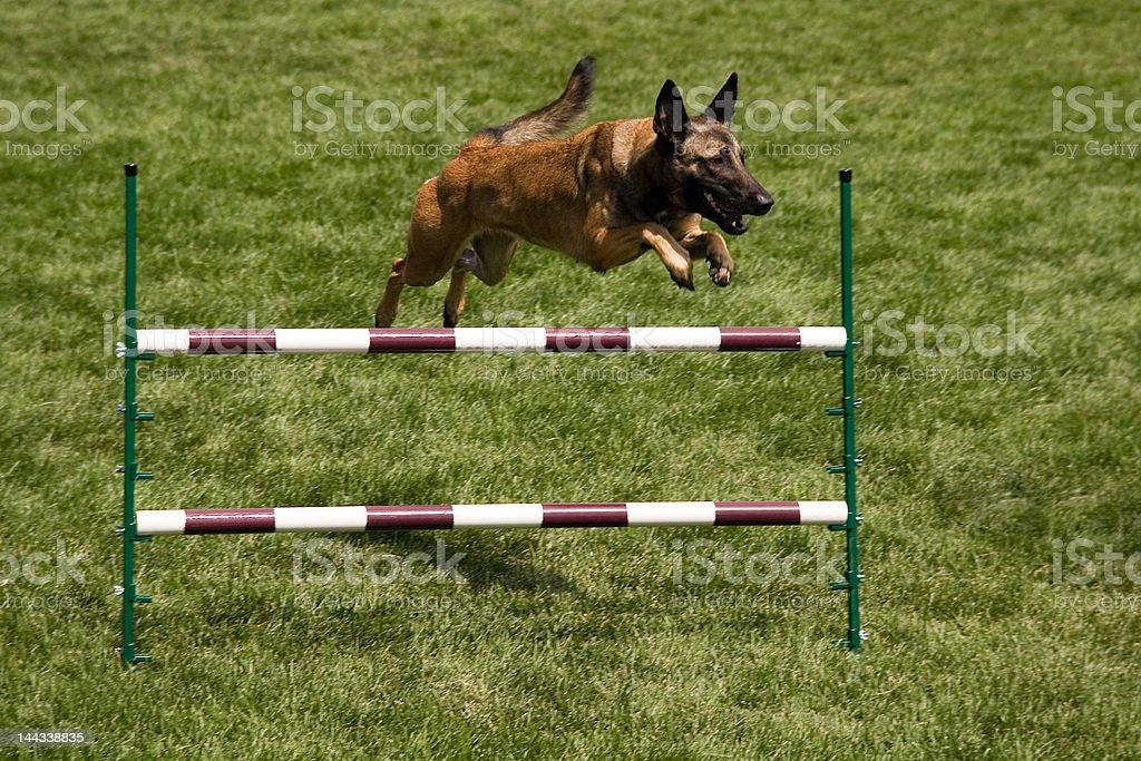 German Shephard jumping stock photo