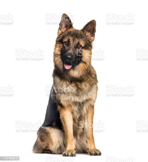 German shepherd 1 year old sitting in front of white background picture id1137958223?b=1&k=6&m=1137958223&s=612x612&h=a3ni8 4fxaobzfjomngbit  i7ozeli9co4oh66adtq=