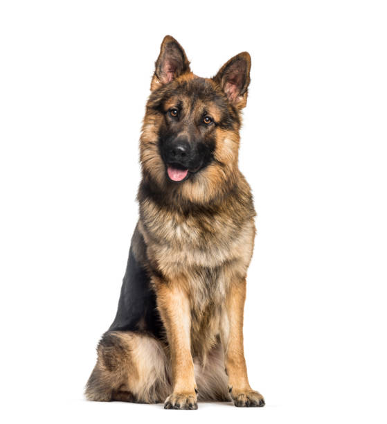German shepherd 1 year old sitting in front of white background picture id1137958223?b=1&k=6&m=1137958223&s=612x612&w=0&h=wyajhsdsv0oweb mhkcu0q4pcqpkhpyigdk5v o 9qe=