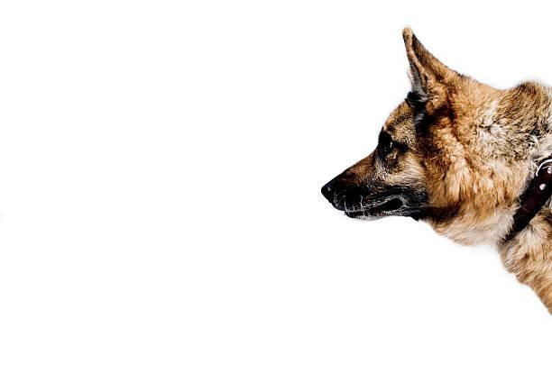 German Shepherd / Alsation Profile stock photo