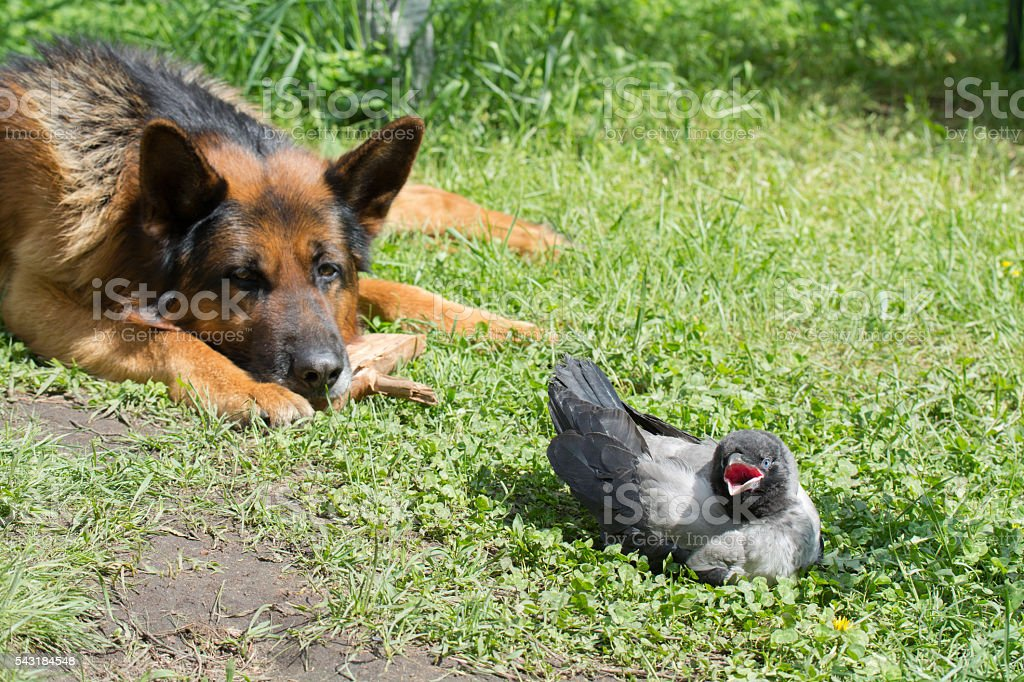 German Shepherd and Hooded Crow stock photo