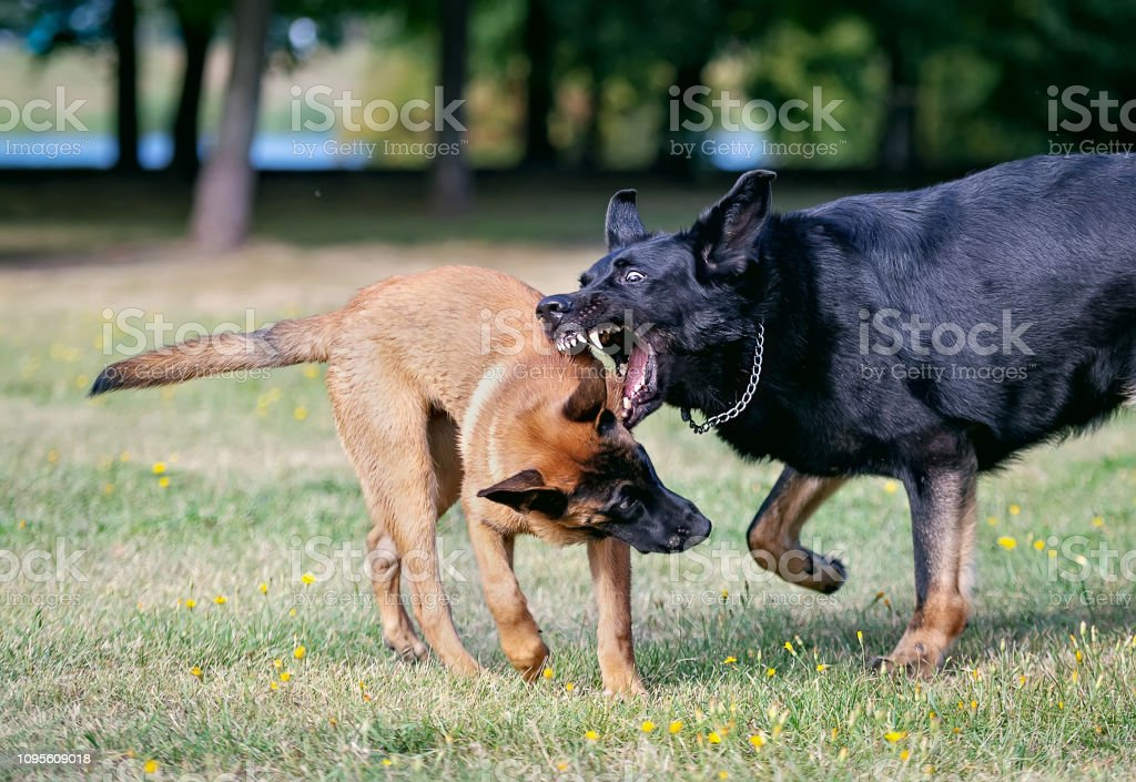An adult male black German shepherd plays with a Malinois puppy in a...