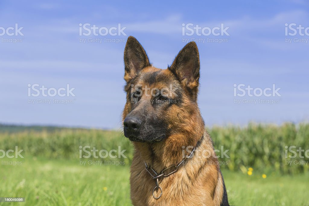 Schäferhund Bix royalty-free stock photo