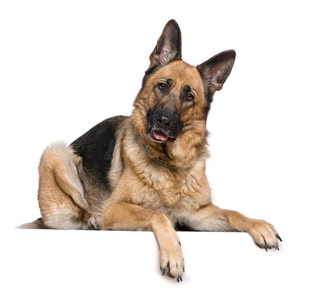 Berger allemand chien, 4 ans, être étendu et Haleter. - Photo