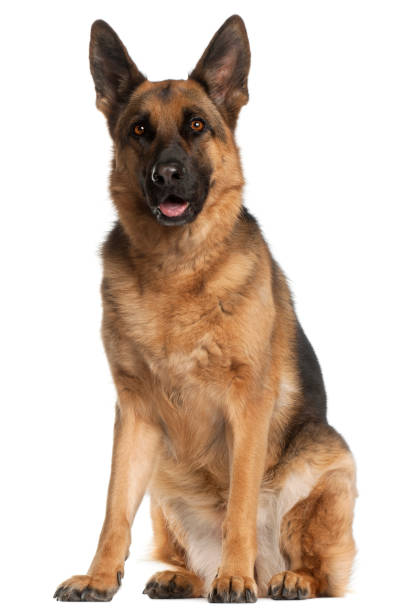 German shepherd dog 4 years old sitting in front of white background picture id855895830?b=1&k=6&m=855895830&s=612x612&w=0&h=hq8gfap hqupsok01yepnirmox3f ifsrnxc9ig4tfu=