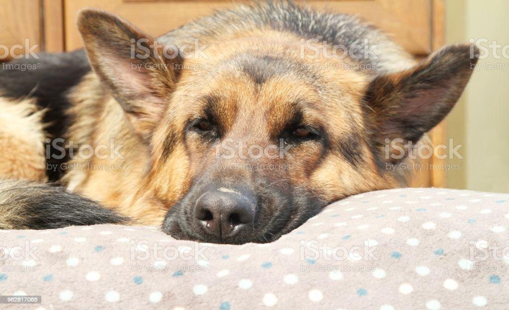 German Shepherd dog asleep - Foto stock royalty-free di Ambientazione esterna