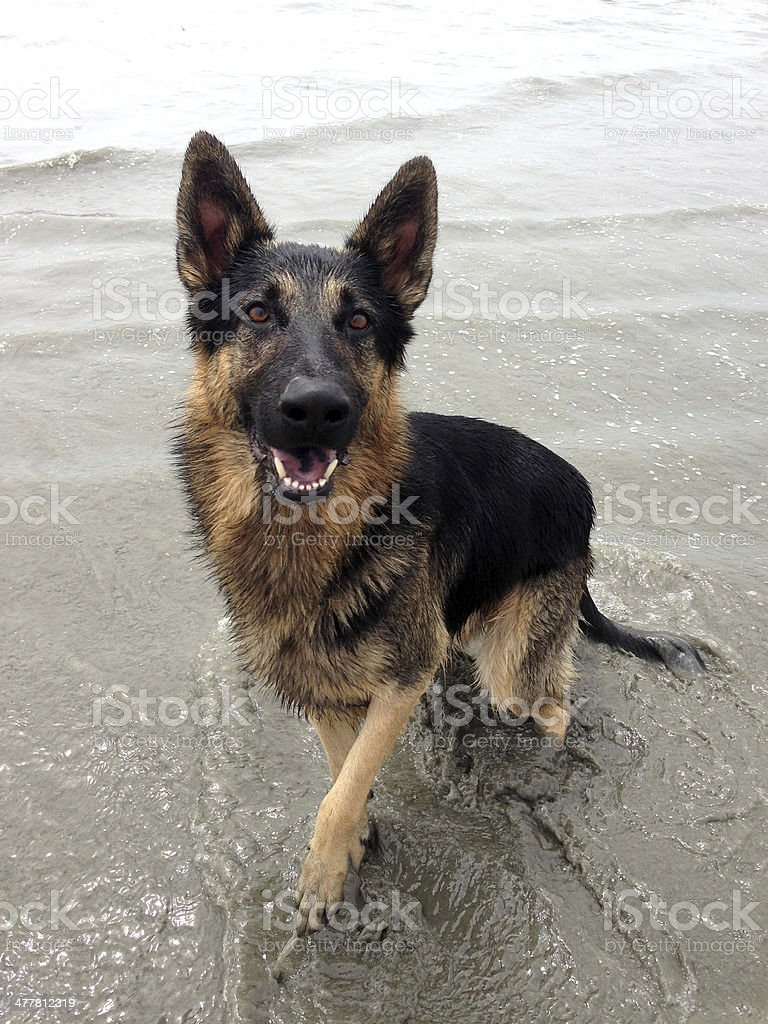 German Shepherd dog at the beach royalty-free stock photo