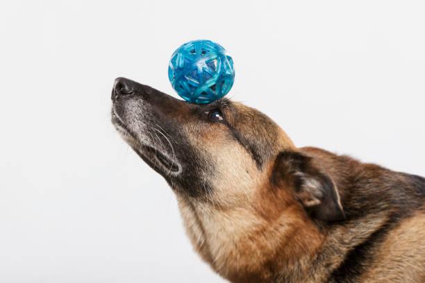German shepherd dog doing stunts with a ball stock photo