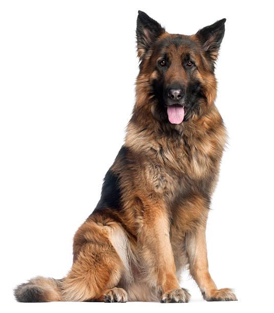 Berger allemand chien, quatre ans, assis, fond blanc. - Photo