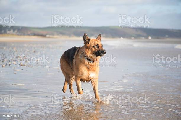 German shepherd dog in action picture id504522364?b=1&k=6&m=504522364&s=612x612&h=bgckdozc4170dzisqsgkrufperotaexbgcf9 yannoc=