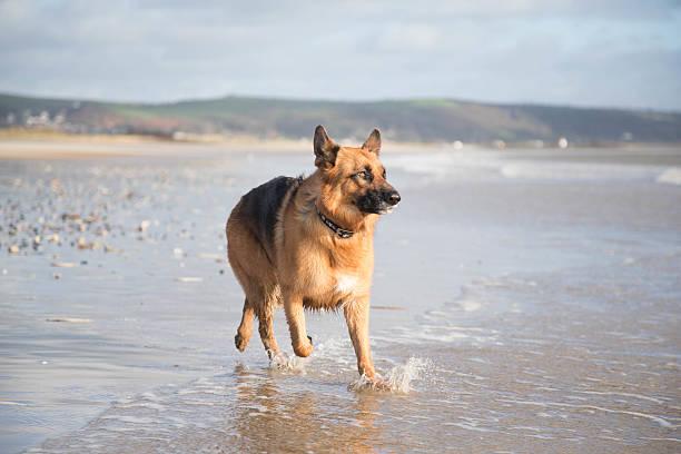 deutscher schäferhund hund in aktion - nachrichten video stock-fotos und bilder