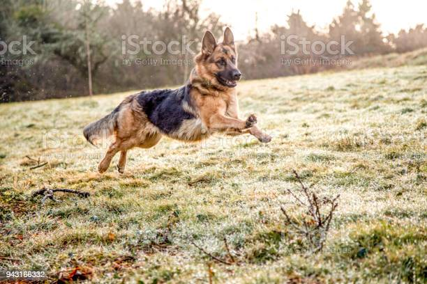 German shepherd dog in action picture id943166332?b=1&k=6&m=943166332&s=612x612&h=p4jikanf2tys9txybmzxv8sihc2j9x2 hiduk upbbg=